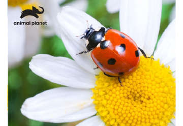 Immagine di Puzzle 3D Animal planet: Lady Bug 48pz