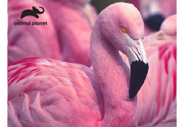 Immagine di Puzzle 3D Animal planet: Pink Flamingo 63pz