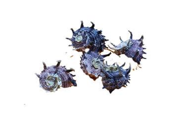 Immagine di Angaria imperialis diametro 6cm