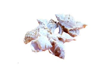 Immagine di Bursa rana - Bursa spinosa 4-6cm