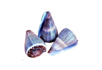 """Immagine di Conus Figulinus medio 3""""-4"""" 7cm"""