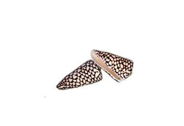 Immagine di Conus marmoreus grande 9-10cm