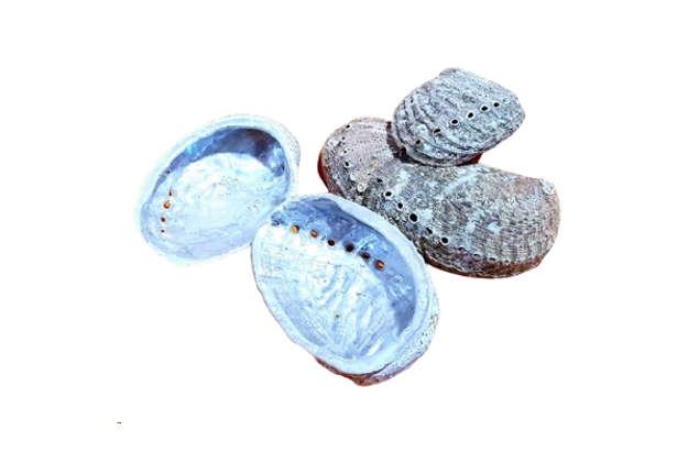 Immagine di Haliotis mediterraneo grande 11cm