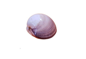 Immagine di Maxmia clam polished diametro 10cm