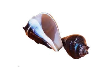 Immagine di Melogena Patula piccola 8.5cm