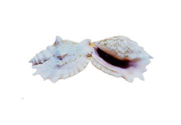 Immagine di Strombus sinuatus L.12,5cm 2Q