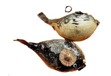 Immagine di Pesce palla 18-20cm