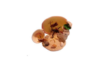Immagine di Codackia tigerina con rane