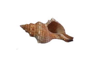 """Immagine di Fasciolaria Trapezium media 5""""-6""""  15cm"""