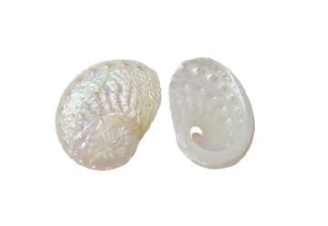 Immagine di Haliotis pulcherina medio cm 6,5-7