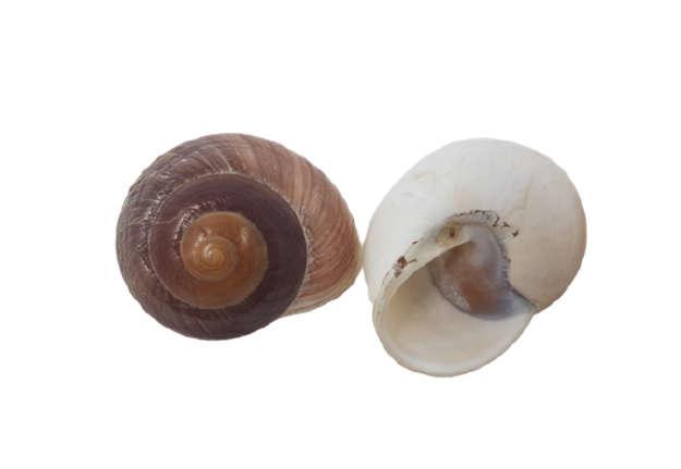 Immagine di Rysotta lamarkiana naturale diametro cm 8
